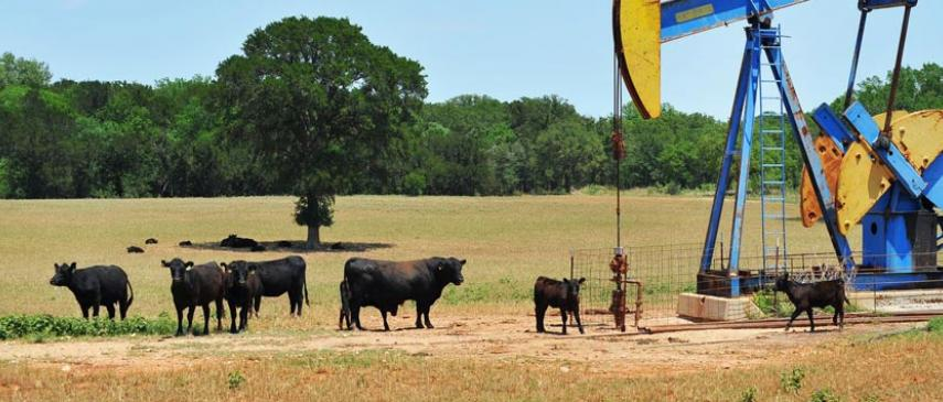 Picture of cows and oil pump jack in field